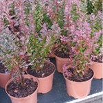 Berberys Thunberga 'Red Rocket' (Berberis thunbergii 'Red Rocket') 50/70 cm, C5