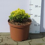 Berberys Thunberga 'Tiny Gold' PBR (Berberis thunbergii 'Tiny Gold') 20/30 cm, C5