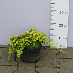 Jałowiec horyzontalny 'Golden Carpet' (Juniperus horizontalis 'Golden Carpet') 30/40cm, C2/C3
