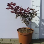 Perukowiec podolski 'Royal Purple' (Cotinus coggygria 'Royal Purple') 40/50 cm, C5