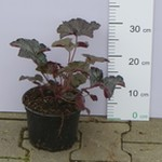Żurawaka drobna 'Palace Purple' (Heuchera micrantha 'Palace Purple') 25/30 cm, C2